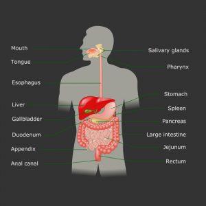 Schemat układu pokarmowego człowieka