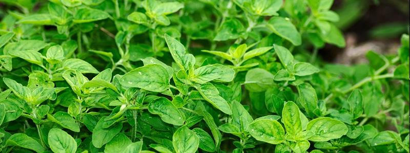 polskie zioła
